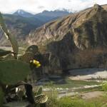 Cactus en fleurs au Pérou lors d'un voyage moto Harley